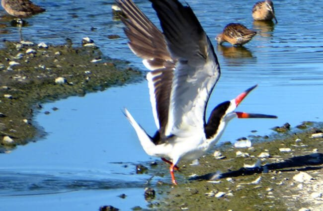 Black Skimmer, readying for takeoff Photo by: bgwashburn https://creativecommons.org/licenses/by-sa/2.0/