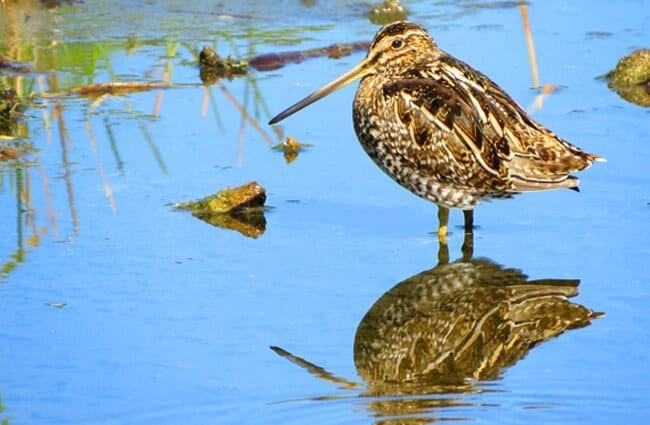 Wilson's Snipe standing in shallow waterPhoto by: Susan Young, public domain