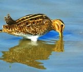 Common Snipe Fishing For Lunch! Photo By: Ferran Pestaña Https://creativecommons.org/licenses/by-Sa/2.0/