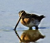 Common Snipe Browsing In The Water Photo By: Pete Beard Https://creativecommons.org/licenses/by-Sa/2.0/