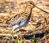 Wilson's Snipe Photo By: Becky Matsubara Https://creativecommons.org/licenses/by-Sa/2.0/