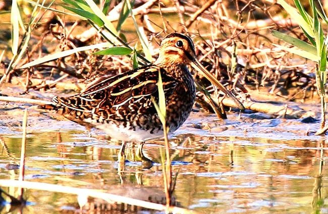 See the excellent camouflage of this Snipe! Photo by: Nick Goodrum https://creativecommons.org/licenses/by-sa/2.0/