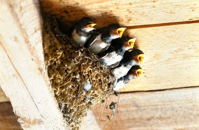 "Bird babies waiting to ""swallow"" some breakfast! Photo by: Joachim_Marian_Winkler, public domain https://pixabay.com/photos/swallows-bird-s-nest-animal-bird-1367214/"