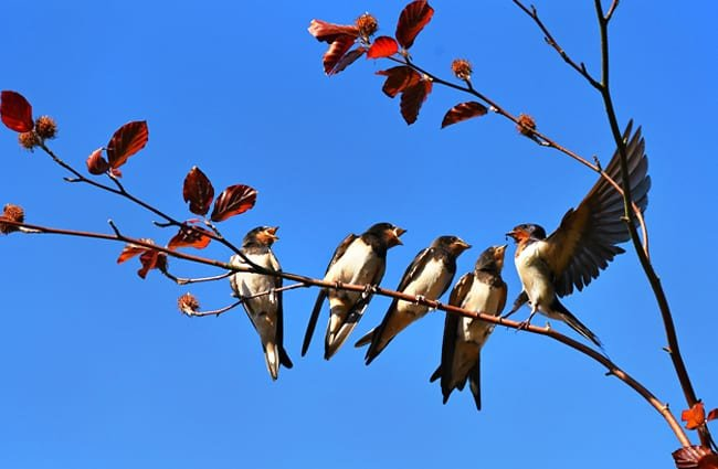 a Swallow gathering! Photo by: Mabel Amber, still incognito..., public domain https://pixabay.com/photos/swallow-bird-animal-four-in-a-row-3584915/