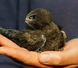 Juvenile Common Swift Photo By: Peter Trimming Cc By 2.0 //creativecommons.org/licenses/by/2.0