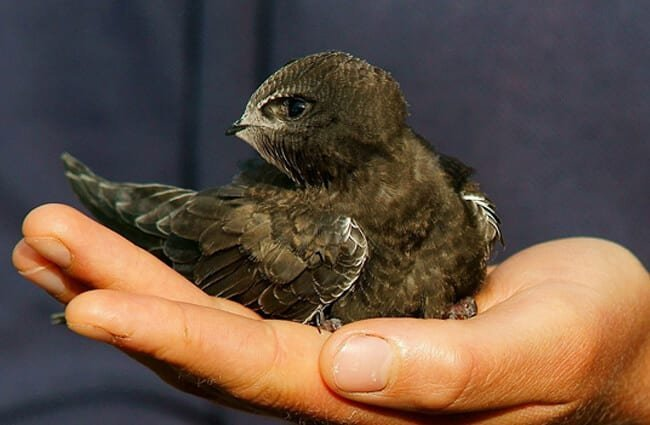 Juvenile Common Swift Photo by: Peter Trimming CC BY 2.0 https://creativecommons.org/licenses/by/2.0