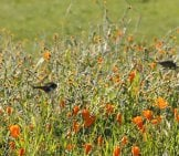 A Pair Of White-Throated Swifts In A Poppy Fieldphoto By: Caligula1995//creativecommons.org/licenses/by/2.0/