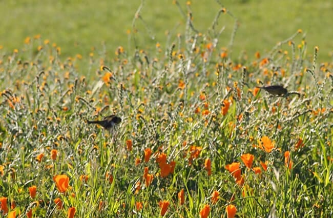 A pair of White-Throated Swifts in a poppy fieldPhoto by: caligula1995https://creativecommons.org/licenses/by/2.0/