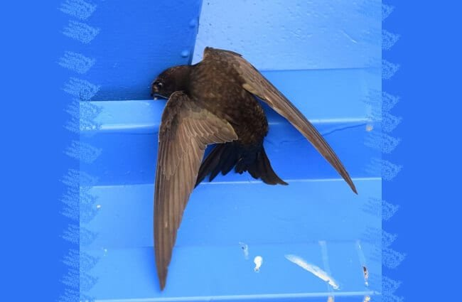 Black Swift attempting to roost vertically on a windowsill Photo by: Carol//creativecommons.org/licenses/by/2.0/