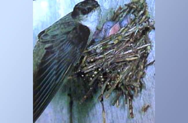 Chimney Swift tending her chicks in their vertically-built nest. Photographed at Isle Royale National Park