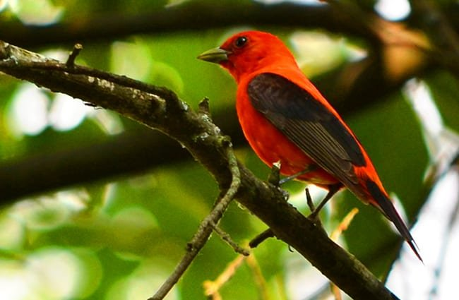 Scarlet Tanager Photo by: CheepShot https://creativecommons.org/licenses/by/2.0/