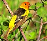 A Beautiful Western Tanager, Photo By: Tom Koerner, Usfws Mountain-Prairie Https://creativecommons.org/licenses/by/2.0/