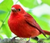 Summer Tanager Photo By: Bettina Arrigoni Https://creativecommons.org/licenses/by/2.0/