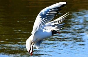 A Tern coming in for a water landingPhoto by: Mabel Amber, still incognito... public domainhttps://pixabay.com/photos/tern-sea-bird-animal-wildlife-4206173/