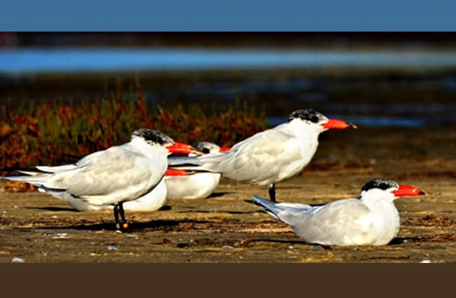 The colorful Caspian Tern Photo by: Laurie Boyle https://creativecommons.org/licenses/by-sa/2.0/