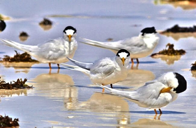 A flock of ethereal Fairy Terns Photo by: Laurie Boyle https://creativecommons.org/licenses/by-sa/2.0/