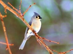 Winter-tufted Titmouse on a tree branchPhoto by: Mike Goad, public domainhttps://pixabay.com/photos/winter-tufted-titmouse-bird-tufted-3777825/