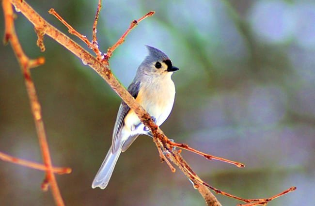 Winter-tufted Titmouse on a tree branchPhoto by: Mike Goad, public domain//pixabay.com/photos/winter-tufted-titmouse-bird-tufted-3777825/