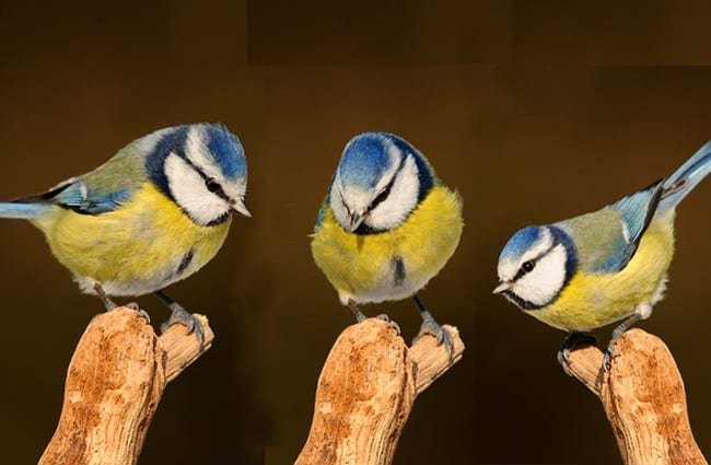 A trio of Titmice