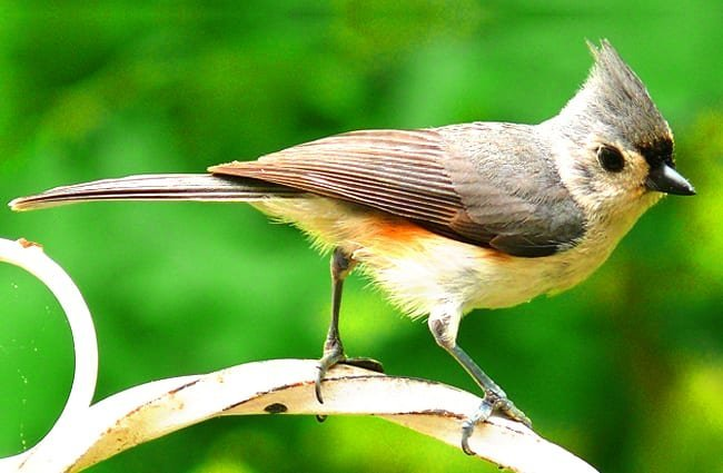 Tiny Tufted Titmouse Photo by: skeeze, public domain https://pixabay.com/photos/tufted-titmouse-bird-nature-981639/