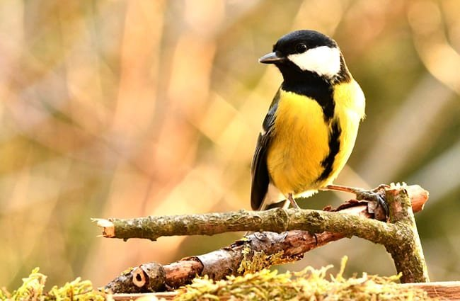 Titmouse in the garden Photo by: Federico Maderno, public domain https://pixabay.com/photos/titmouse-bird-forest-nature-yellow-4061902/
