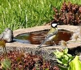 Titmouse At A Bird Bath Photo By: Steen Jepsen, Public Domain Https://pixabay.com/photos/bird-Bird-Bath-Titmouse-Expensive-1386579/
