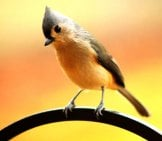 Tufted Titmouse On A Garden Fence Photo By: Cj, Public Domain Https://pixabay.com/photos/tufted-Titmouse-Crested-Bird-1963504/