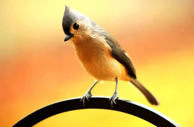 Tufted Titmouse on a garden fence Photo by: CJ, public domain //pixabay.com/photos/tufted-titmouse-crested-bird-1963504/