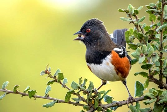 Spotted Towhee picking up some lunchPhoto by: Becky Matsubarahttps://creativecommons.org/licenses/by-sa/2.0/