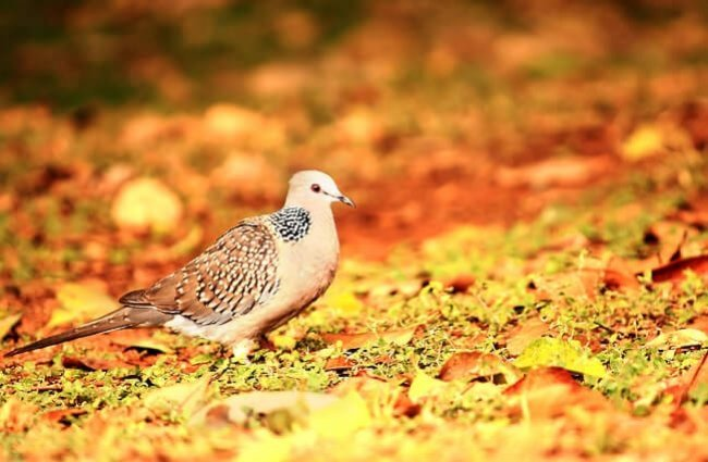Spotted Turtle Dove on a sunny afternoon Photo by: ruben alexander https://creativecommons.org/licenses/by-sa/2.0/