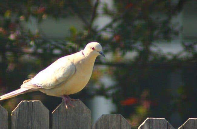 Ringed Turtle Dove on the backyard fence Photo by: Shogun_X //creativecommons.org/licenses/by-sa/2.0/