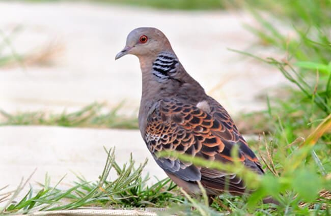 Oriental Turtle Dove at the river's edge Photo by: Sham Edmond https://creativecommons.org/licenses/by-sa/2.0/