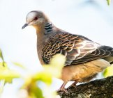 Rufous Turtle Dove In The Forestphoto By: Emilie Chen//creativecommons.org/licenses/by-Sa/2.0/