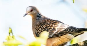 Rufous Turtle Dove in the forestPhoto by: Emilie Chenhttps://creativecommons.org/licenses/by-sa/2.0/