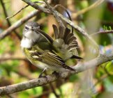 Blue-Headed Vireo Preening In A Tree Photo By: Susan Young //creativecommons.org/licenses/by/2.0/