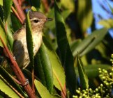 A Warbling Vireo Photo By: Tracie Hall //creativecommons.org/licenses/by/2.0/