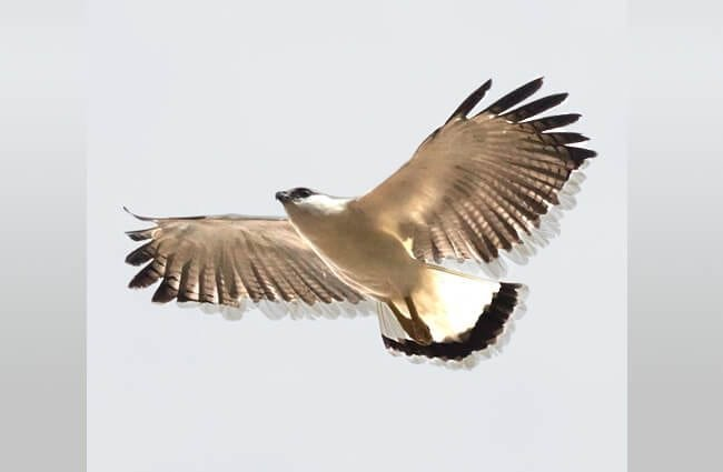 White Hawk Soaring in the skies of Panama Photo by: (c) epantha www.fotosearch.com