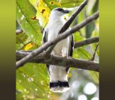 White Hawk From Panama Perched On A Branch Photo By: (C) Epantha Www.fotosearch.com
