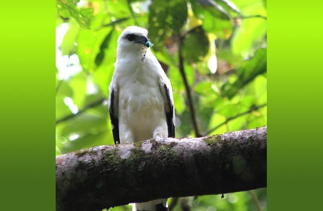 White Hawk in the forest Photo by: ryanacandee https://creativecommons.org/licenses/by/2.0/