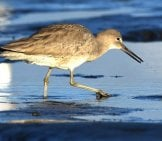 Willet Stalking The Water'S Edge In San Diego, California Photo By: Andy Reago &Amp; Chrissy Mcclarren Https://Creativecommons.org/Licenses/By/2.0/