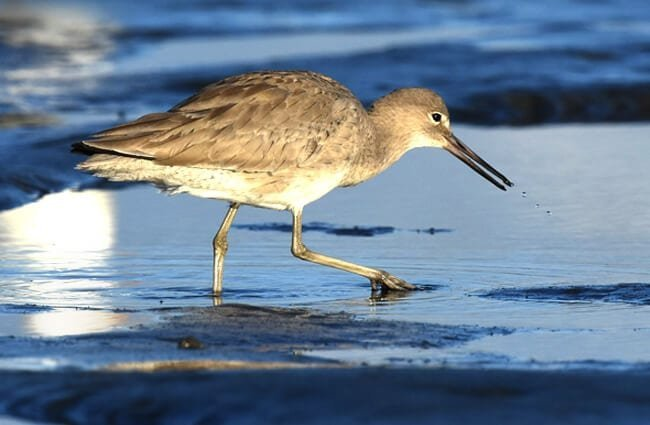 Willet stalking the water's edge in San Diego, California Photo by: Andy Reago & Chrissy McClarren https://creativecommons.org/licenses/by/2.0/