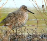 Willet In Light Brush Photo By: Andy Reago & Chrissy Mcclarren Https://creativecommons.org/licenses/by/2.0/