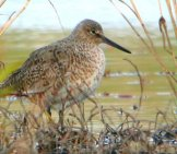Willet In Light Brush Photo By: Andy Reago &Amp; Chrissy Mcclarren Https://Creativecommons.org/Licenses/By/2.0/
