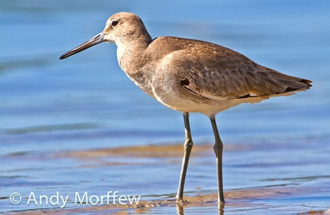 Long-legged WilletPhoto by: Andy Morffewhttps://creativecommons.org/licenses/by/2.0/