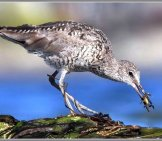 Willet Grabbing A Quick Bite To Eat From Seaweed Washed Ashore. Photo By: Nigel Https://creativecommons.org/licenses/by/2.0/