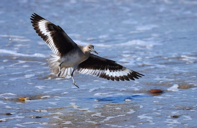Willet coming in for a landing, in San Diego, California Photo by: Andy Reago & Chrissy McClarren https://creativecommons.org/licenses/by/2.0/