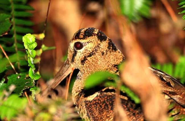 Amami Woodcock in Amami Island, Japan Photo by: (c) feathercollector www.fotosearch.com