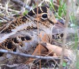 American Woodcock Expertly Camouflaged By Nature Photo By: Andy Reago & Chrissy Mcclarren Https://creativecommons.org/licenses/by-Nd/2.0/