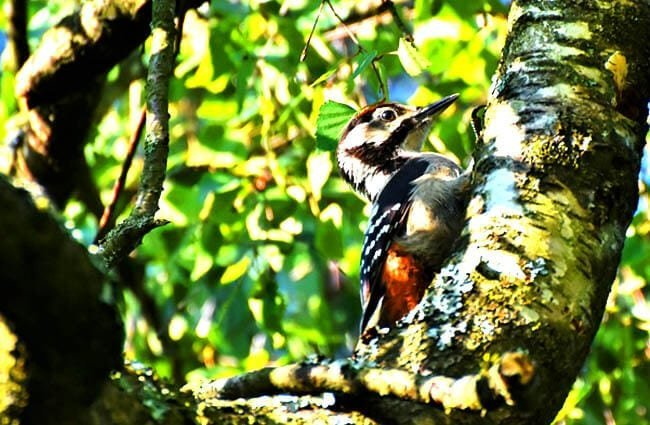 Great Spotted Woodpecker Photo by: Capri23auto //pixabay.com/photos/great-spotted-woodpecker-woodpecker-3957726/
