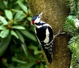 Great Spotted Woodpeckerphoto By: Oldiefan//pixabay.com/photos/bird-Great-Spotted-Woodpecker-2109659/
